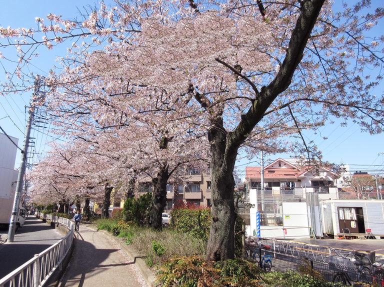「都立大学」駅へ向かう緑道(春)